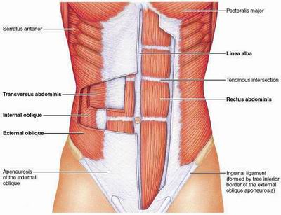 Muscles_of_the_Abdominal_Wall.jpg